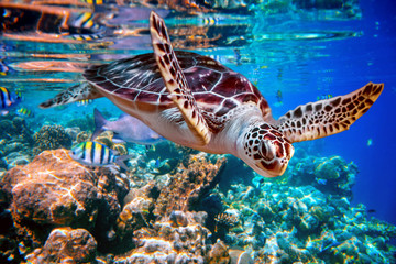 Foto op Plexiglas Schildpad Sea turtle swims under water on the background of coral reefs