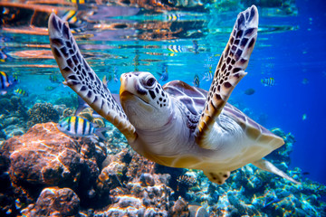 Tuinposter Koraalriffen Sea turtle swims under water on the background of coral reefs