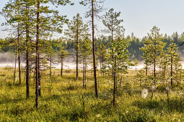 landscape in a pine forest
