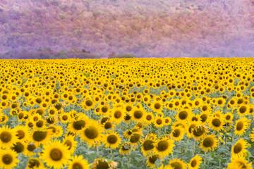 Full bloom sunflower field natural landscape background