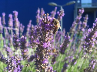 Photo Blinds Lavender Abeille qui butine