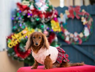 クリスマスを楽しむダックスフンド