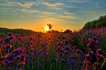 Foto op Aluminium Natuur Sunset at Lavender Field