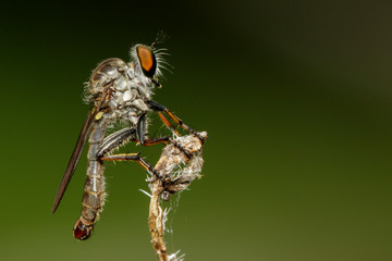 Image of Robber fly(Asilidae) on a tree branch. Insect. Animal.