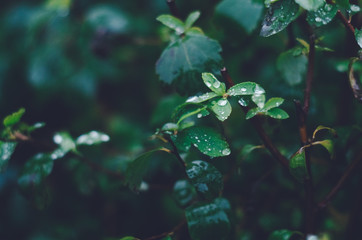 Closeup of green bush leaves covered with rain drops.