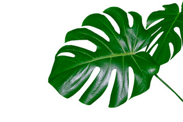 Floral background of green leaves flower monstera