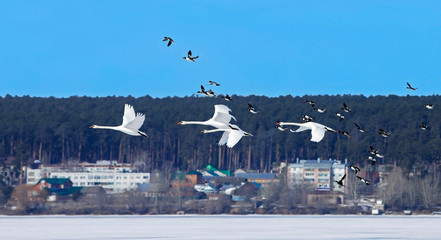 a flock of beautiful swans and wild ducks fly over the frozen lake
