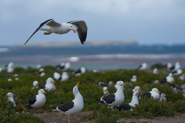 Breeding colony of Kelp Gull (Larus dominicanus) nesting alongside Dolphin Gulls on a grassy meadow on Sealion Island in the Falkland Islands.