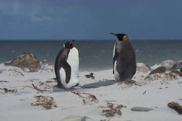 Fotobehang Pinguin King Penguins (Aptenodytes patagonicus) on a windy day on the coast of Sea Lion Island in the Falkland Islands.