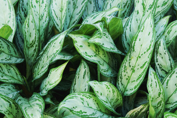 White Green Leaves of Aglaonema Plants as Texture Background