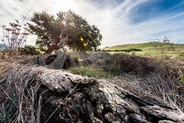 Korkeiche auf Sardinien im Gegenlicht