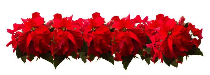border of fresh scarlet poinsettia flower or christmas star  on a white background