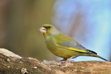 European greenfinch (Carduelis chloris). Bird sitting on a branch. Bird of Europe. Songbird in the nature habitat.
