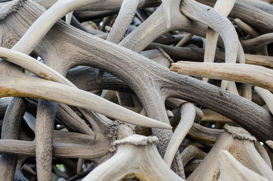 Close up view of a pile of elk antlers