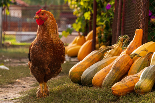 Majestic rooster on a rustic autumn background. Rooster standing near colorful pumpkins.