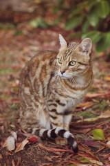chat race Bengale mâle extértieur nature automne
