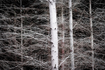 Bare Forest Trees close up