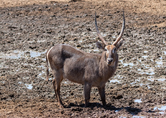 Waterbuck drinking water at a waterhole in the Mokala national Park in South Africa