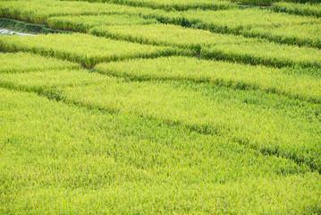 Autumn rice field, paddy rice