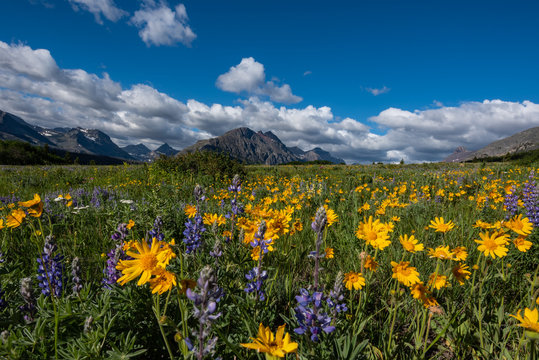 Yellow Daisies in Wildflower Field in Montana
