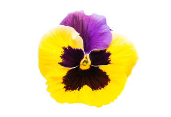pansy isolated