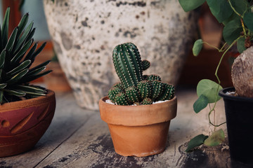 Small potted cactus indoor houseplant in clay pot on rustic wood garden background.