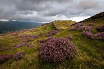 Heather blossoming at the top of Lingmoor fell at Great langdale England