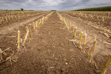 Close up from harvested corn field in the Ardenne Belgium