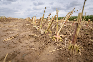 Corn plant close up at harvested corn field brown soil Belgium