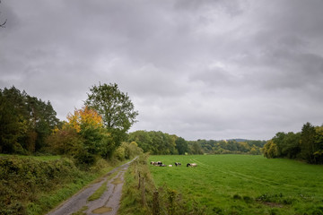 Cows gathering in green fields at the countryside of the wet Ardennes Belgium