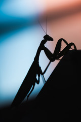 Mantis. Black insect silhouette