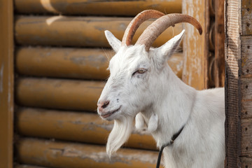 White goat looks out of a wooden barn