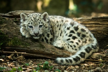 In de dag Luipaard Snow leopard, ounce, kitten, Panthera uncia