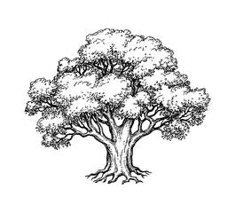 Ink sketch of oak tree.