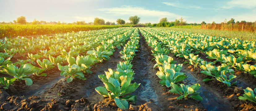 cabbage plantations grow in the field. vegetable rows. farming, agriculture. Landscape with agricultural land. crops. selective focus