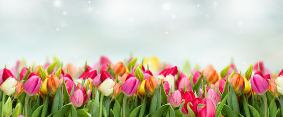 tulips in garden on blue sky background wide banner