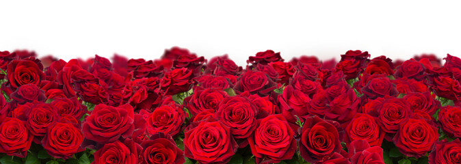 bouquet of dark red roses wide banner isolated on white background Fototapete