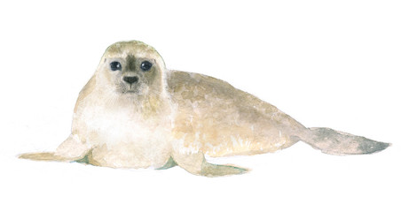 watercolor isolated illustration of a seal, drawing of the North polar animal of the Antarctic and the Arctic, drawn by paints on a white background