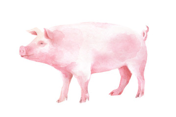 watercolor isolated illustration of a pig, pet hand painted with paints, farm livestock and domestic animal