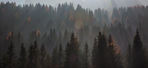 forest , pine trees among beautiful warm light