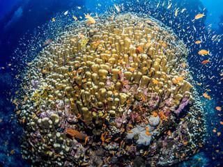 Korallenriff mit Fischen im Roten Meer, Ägypten