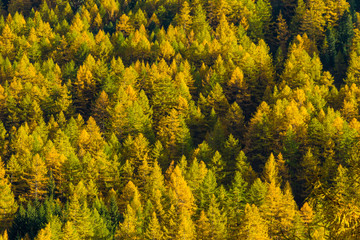 A forest of larch trees with yellow leaves in autums, Pragelato, Piedmont, Italy, Europe