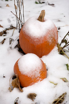 Snow covered pumpkins ready for the upcoming Halloween festivities. St Paul Minnesota MN USA