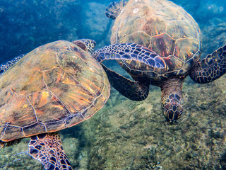 Maui-GreenSeaTurtle-Kaanapali-TwoTurtlesPlaying