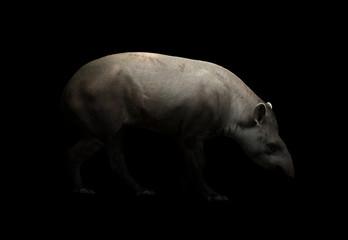 brazilian tapir in the dark