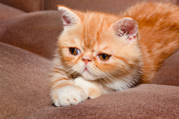 Shorthair kitten breed exotic color red marble lying on the couch