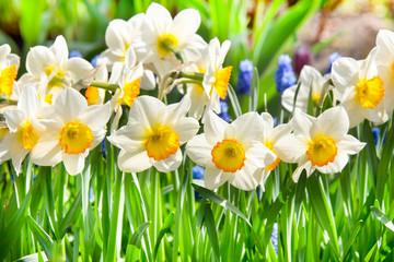Beautiful daffodil flowers on blurred summer background