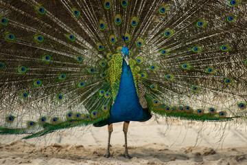 Peacock on a sandy beach in the Mexican Caribbean
