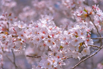 Cherry blossom in spring season at Tokyo, Japan. Cherry blossoms will start blooming around the late March in Tokyo, Many visitors to Japan choose to travel in cherry blossom season.