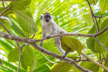 Fotorolgordijn Aap Green Tailed Monkey in Trees
